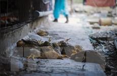 Đắk Lắk: Công bố dịch cúm gia cầm ở thành phố Buôn Ma Thuột