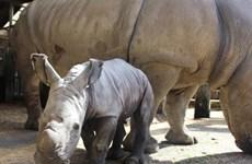 Tê giác con cực kỳ đáng yêu chào đời tại Vườn thú Auckland