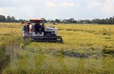 Bạc Liêu: Xuất khẩu thuận lợi, giá lúa tăng cao từng ngày