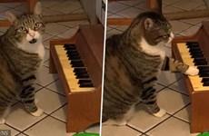Kỳ lạ chú mèo chơi piano để thông báo cho chủ biết mình đang đói