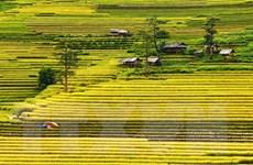 Những hình ảnh rực rỡ sắc vàng nơi rẻo cao Mù Cang Chải