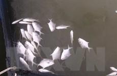 Điện Biên: 80 tấn cá lồng chết bất thường trên hồ Hồng Khếnh