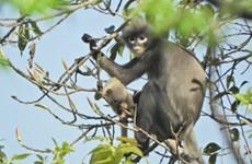 Phát hiện loài linh trưởng có nguy cơ tuyệt chủng ở Myanmar