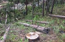 Gia Lai: Bắt 3 đối tượng liên quan vụ phá rừng hương cổ thụ