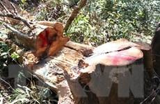 Tạm đình chỉ giám đốc Ban Quản lý rừng Di tích lịch sử Mường Phăng
