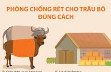 [Infographics] Cách phòng chống rét cho trâu bò đúng cách