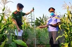 Gia Lai: Phát hiện nhiều điểm trồng cần sa trái phép tại huyện Chư Sê