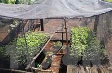 Liên tiếp phát hiện các vụ trồng cần sa trái phép tại Đắk Lắk