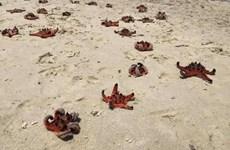 Tiếng khóc từ biển cả: Du khách sống ảo, sao biển chết thật