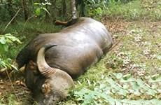 Đề nghị làm tiêu bản bò tót chết do già yếu tại khu bảo tồn ở Đồng Nai
