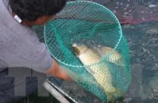 """""""Vỗ giòn"""" cá chép Định Bình mang lại hiệu quả kinh tế cao"""