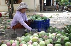 Xoài Australia rớt giá, người dân để rụng không thu hoạch