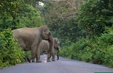 Ấn Độ đau đầu tìm cách giải quyết cuộc xung đột giữa người và voi