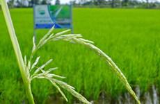 Hà Nội trồng khảo nghiệm thành công giống lúa ST25
