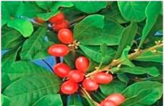 """""""Miracle Berry"""" - loại quả kỳ lạ biến vị chua thành vị ngọt"""