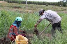 Nông sản Long An: Sản lượng lớn, tiêu thụ khó khăn, giá thấp