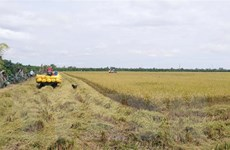 Thị trường nông sản tuần qua: Giá lúa đã tăng trở lại
