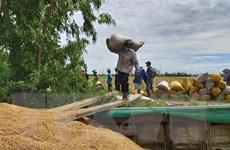 Cần Thơ: Lúa Thu Đông thu hoạch thuận lợi, giá thấp nhưng vẫn có lãi