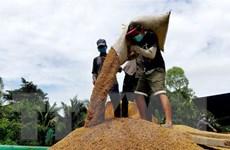 Gạo Việt Nam có xu hướng tăng cả trong nước và thế giới