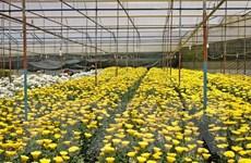 Hoa và rau Đà Lạt tăng giá trở lại sau khi dịch bệnh được kiểm soát