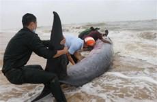 Thừa Thiên-Huế: Nỗ lực cứu cá voi nặng 3 tấn bị sóng đánh dạt vào bờ