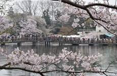 Lãng mạn và mê hoặc với sắc hoa anh đào tháng Tư Nhật Bản