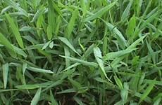 Phát triển loại cỏ làm giảm khí thải gây hiệu ứng nhà kính