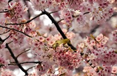 Số người dị ứng phấn hoa ở Nhật Bản tăng đột biến