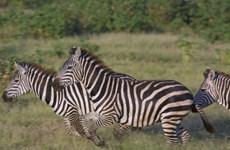 Sọc của ngựa vằn giúp chúng tránh khỏi sự tấn công?