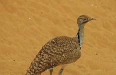 Hoàng tử Saudi Arabia săn trái phép hơn 2.000 chim quý