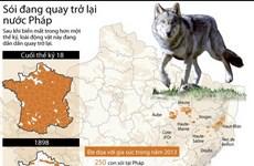 [Infographics] Sói trở lại nước Pháp sau hơn 1 thế kỷ