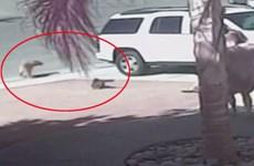 Video chú mèo dũng cảm đuổi con chó cắn cậu chủ nhỏ