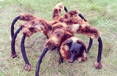 """Video """"Chó nhện khổng lồ"""" chiếm vị trí cao nhất trên mạng xã hội"""