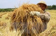 Sản lượng lúa vùng Đồng bằng sông Cửu Long đạt 25,2 triệu tấn