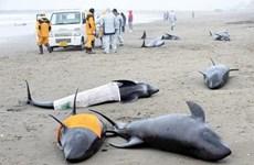 Người Nhật lo ngại hiện tượng cá voi chết hàng loạt báo hiệu điềm gở