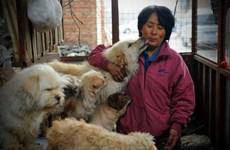 Một phụ nữ bỏ 1000 đô la để cứu 100 con chó sắp bị giết