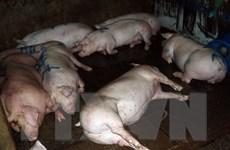 """Quan ngại """"vấn nạn"""" bơm nước vào lợn trước khi đem giết mổ"""