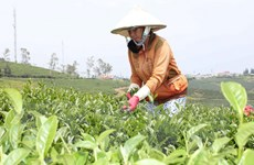 Hỗ trợ tìm kiếm và mở rộng thị trường xuất khẩu chè Oolong