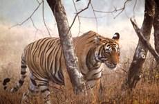 Số lượng hổ hoang dã lần đầu tiên tăng trong một thế kỷ qua