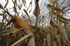 Hệ quả của công nghệ biến đổi gene trong nông nghiệp tại châu Phi