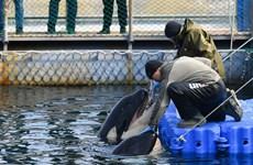 Nga thả các con cá voi bị bắt nhốt để biểu diễn bất hợp pháp
