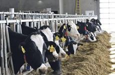 NAFTA 2.0 gây thiệt hại cho ngành nông nghiệp và sữa của Canada