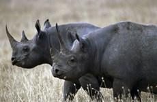 Nỗ lực cứu loài tê giác đen quý hiếm của các nước châu Phi