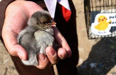 """Indonesia: Dự án nuôi gà giúp trẻ """"cai nghiện"""" điện thoại thông minh"""