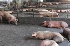 Đắk Nông: Xử phạt hai cơ sở chăn nuôi lợn gây ô nhiễm môi trường