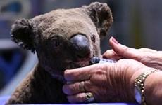 Australia áp dụng công nghệ mới hỗ trợ loài koala sau cháy rừng