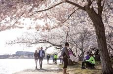 Nhiều người vẫn đổ về Washington ngắm hoa anh đào bất chấp dịch bệnh