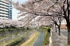 Ngắm hoa anh đào đua nhau khoe sắc tại Xứ sở Kim Chi qua ảnh