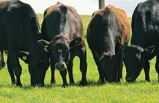 Nhật Bản ban hành luật bảo vệ vật liệu di truyền của giống bò wagyu