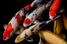Trung Quốc: Thủ phủ của tỉnh Hồ Nam sẽ cách ly cá Koi nhập từ Nhật Bản